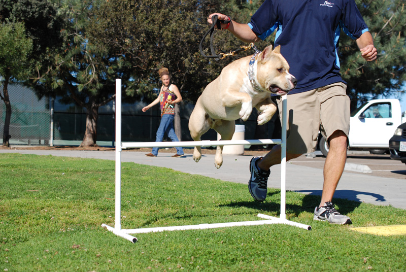 Agility Dog Training And Pit Bull Terriers