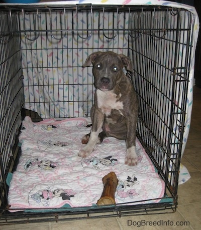 Crate Training Your Pit Bull Terrier Puppy: How Big Should The Dog Crate Be?